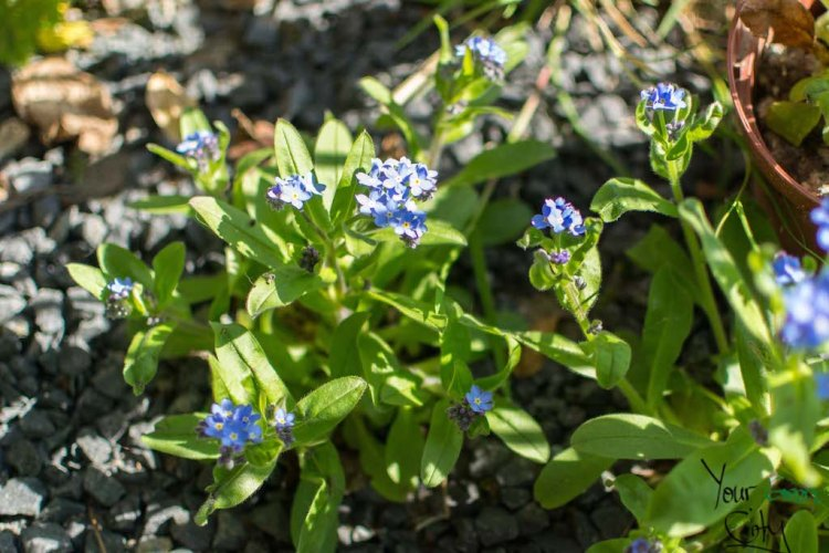 Spring Garden Forget-me-nots