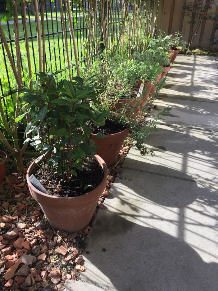 herbs terracotta pots